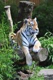 Odważny tygrys Zdjęcie Royalty Free
