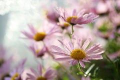 Odwiecznie krzaka aster z kroplami rosa Kwiaty w kraju fotografia royalty free