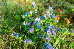 Odwiecznie leczniczej rośliny stłuczenia ordynariusz na polu na ciepłym letnim dniu zdjęcie royalty free