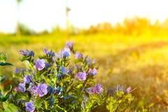 Odwiecznie leczniczej rośliny stłuczenia ordynariusz na polu na ciepłym letnim dniu obrazy stock
