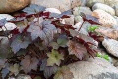 Odwiecznie rośliny heuchera hybryd znać jako ałunu korzeń w rockery w ogródzie zdjęcie stock