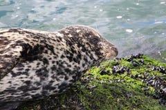 Odwiedza Vancouver okładkę magazynu lub billboard foka na plaży (lew) Zdjęcie Stock