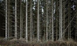 Odwodniony sosnowy las na górze 03 Zdjęcie Stock