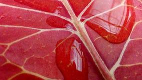 Odwrotna strona kretonowy liść z kroplami zdjęcie stock