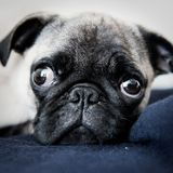 Ody the dog. A very cute pug on the rug with eyes wide open Stock Images