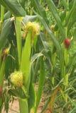 łodygi kukurydzy Zdjęcie Royalty Free