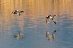 Odzwierciedlający krakwy kaczki pary anas strepera lata nad wodą zdjęcia stock
