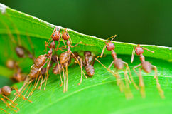 Oecophylla smaragdina (common names include Weaver Ant, Royalty Free Stock Images