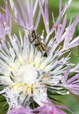 Oedemera barbara insect standing on a flower. A Oedemera barbara stands on a flower to pick pollen in a forest in the Spanish balearic island of Mallorca royalty free stock photo