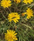 Oedemera lurida on Stinking Hawk`s-beard flowers Royalty Free Stock Photography