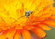 Oedemera Nobilis宏指令在橙色水兰属的植物的 免版税库存照片