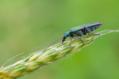 Oedemera Nobilis Royalty Free Stock Photography