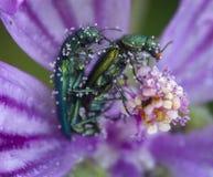 Oedemera Sp dobiera się robić miłości przy różowym łóżkiem pollen zdjęcia royalty free