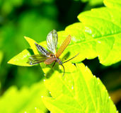Oedemeridae fly Stock Photo