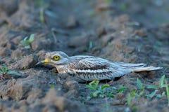 Oedicnemus Burhinus (евроазиатское Толст-колено, евроазиатский Камн-curlew Стоковое Изображение RF