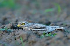 Oedicnemus Burhinus (евроазиатское Толст-колено, евроазиатский Камн-curlew Стоковые Фотографии RF