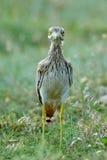 Oedicnemus Burhinus (евроазиатское Толст-колено, евроазиатский Камн-curlew Стоковые Изображения RF