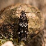 Oegoconia quadripuncta微小飞蛾 库存照片