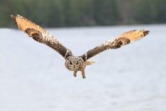 oehoe летания Стоковое Фото