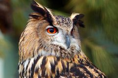 Oehoe, eagle owl. Royalty Free Stock Images