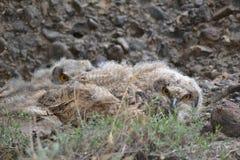 Oehoe kuikens op een nest Stock Afbeeldingen