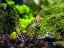 Oeil à observer avec une crevette d'amano photographie stock libre de droits