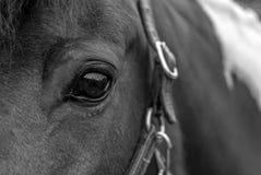 Oeil B&W de cheval Images stock