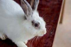 oeil blanc de closup de lapin dans le jardin Photographie stock libre de droits