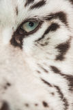 Oeil blanc de tigre Photo stock