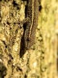 Oeil commun de gecko photographie stock