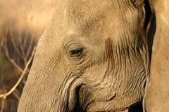 Oeil d'éléphant Photo libre de droits