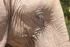 Oeil d'éléphant Image stock