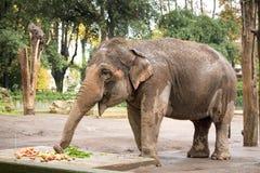 Oeil d'éléphant Photographie stock