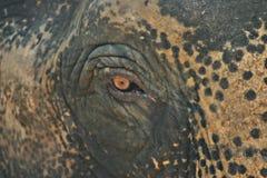 Oeil d'éléphant Photos libres de droits