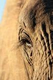 Oeil d'éléphants Image stock
