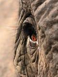 Oeil d'éléphants Photo libre de droits