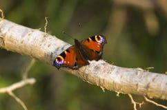 Oeil d'aile de papillon Photos libres de droits