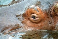 Oeil d'hippopotame Images libres de droits