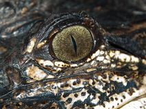 Oeil d'un alligator Images libres de droits
