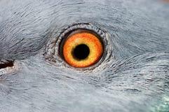 Oeil d'un plan rapproché de pigeon Photo stock