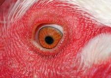 Oeil d'un poulet Photographie stock libre de droits
