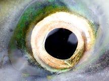 Oeil d'un saumon, une fin vers le haut Photographie stock libre de droits