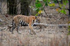 Oeil d'un tigre Image libre de droits