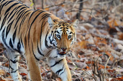 Oeil d'un tigre photo stock