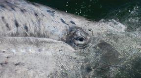 Oeil d'une baleine grise nouveau-née Images stock