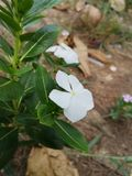 Oeil de Bringht, bigorneau indien, bigorneau de cap, Pinkle-pinkle, bigorneau rose, Vinca, bigorneau de Rose, ‹de plant†de ‹de  photos stock