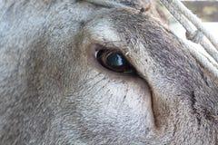 Oeil de cerfs communs rouges Photos stock