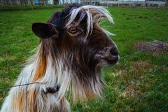 Oeil de chèvre Image libre de droits