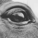 Oeil de chevaux de pur sang Photographie stock libre de droits