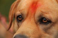Oeil de chien Images stock